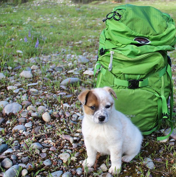 Rooster, #OspreyAthlete @kimhavell's steadfast #pup companion, stands guard over her Kode42 pack during a break from rainy weather in the Tetons